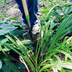 AMES_TransferPerennials_Step_03