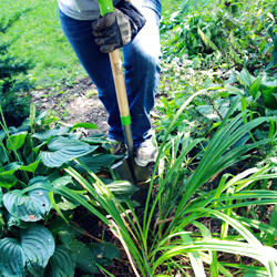 transplanting-shrubs